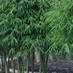 Dwarf Buddha Belly Bamboo
