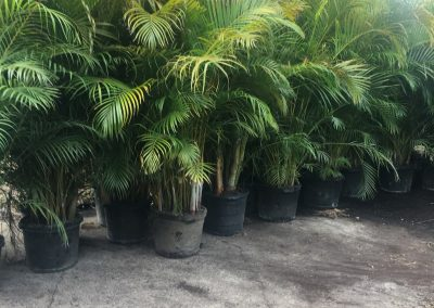 15 Gallon Areca Palm