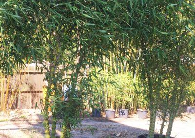 25 Gallon Dwarf Buddha Belly Bamboo