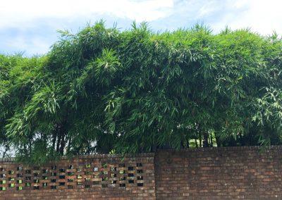 Dwarf Buddha Belly Bamboo Wall