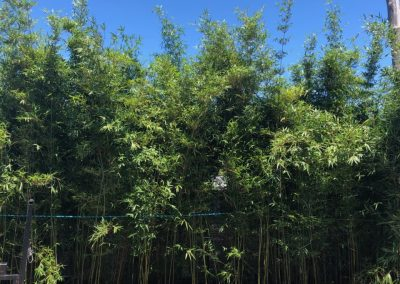 7 Gallon Graceful Bamboos